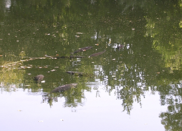 This group of carp were visiting a spot in the edge.