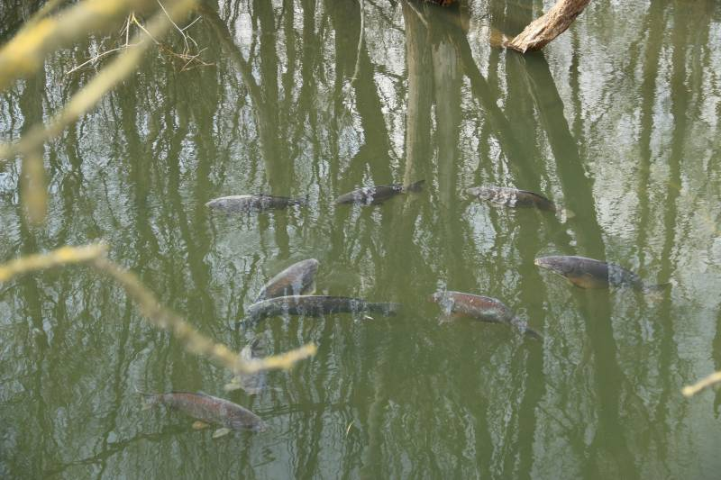 Its not unusual to see the fish group up or visit shallow, warmer water